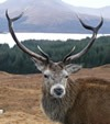 Highland Deer Scotland walking holidays letsgowalking