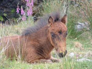 dartmoor_foal Two Moors Way Letsgowalking